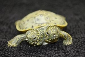 Thelma and Louise, a two-headed Texas cooter turtle, is seen in an undated photo provided by the San Antonio Zoo.