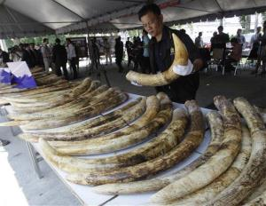 A Thai customs official displays seized elephant tusks smuggled into Thailand from Kenya.