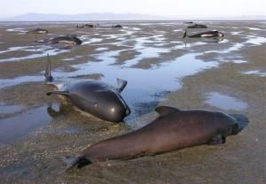In this Tuesday, Nov. 15, 2011 photo released by the New Zealand Department of Conservation, pilot whales are stranded at the tip of Farewell Spit.