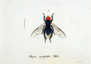 The thyreophora cynophila or bone-skipper
