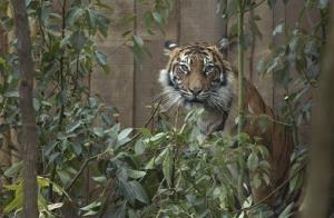 Female tiger Melati is seen in a new Sumatran tiger enclosure after it was officially opened by Britain's Prince Philip, the Duke of Edinburgh, at London Zoo, north London, Wednesday, March 20, 2013.