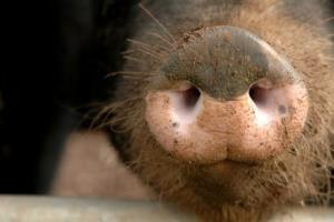 A pig has become the first of his kind to get lymphoma treatment.