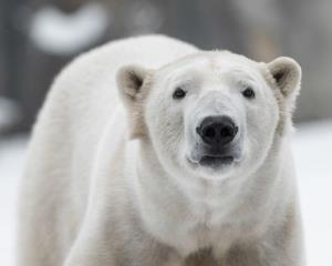 A polar bear mauled a US hiker in northeastern Canada.