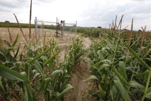Corn growing on a farm near Mead, Colorado.