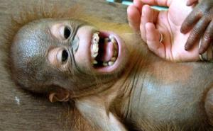 Who could kill this baby orangutan?
