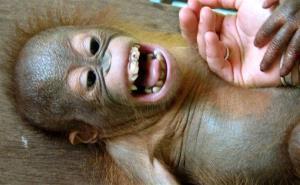 Who could kill this baby orangutan?