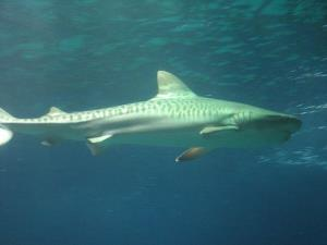 File image of a tiger shark. A surfer thinks it was a tiger shark that bit him in Hawaii.