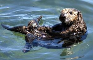 A wild sea otter floats on its back in a tide pool in Monterey Bay near Monterey, Calif.