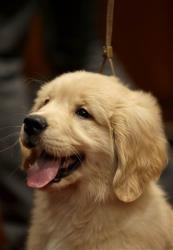 A golden retriever puppy named Gibbs attends a news conference at the American Kennel Club in New York,
