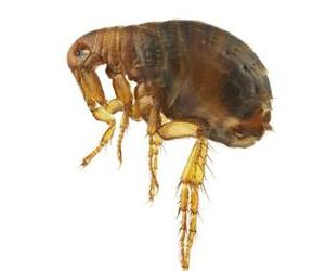 Fleas can transmit plague to humans.