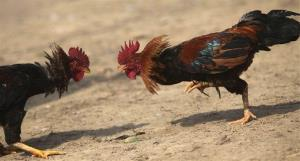 Roosters prepare to attack each other during the Jonbeel festival near Jagiroad, India, Friday, Jan. 18, 2013.