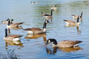 File photo of wild geese.