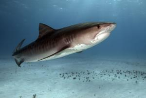 File photo of a tiger shark.