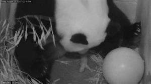 In this image from video provided by the Smithsonian National Zoo, Mei Xiang gives birth to a cub two hours after her water broke Friday.