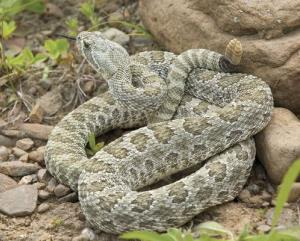 Rattlesnakes that don't rattle: a scary thought.