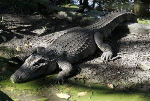 The stranded kayaker feared a crocodile believed to be 20 feet in length. (Not this one.)