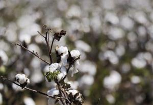 In this photo taken Sept. 5, 2012, cotton grows in a field near Coy, Ark. Arkansas cotton acreage is down sharply in 2013, putting pressure on the state's cotton gins.