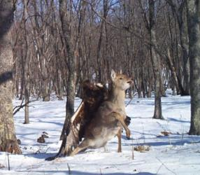 One of the captured images of a golden eagle attacking a deer.