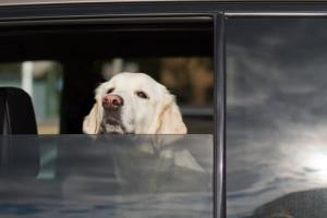 Car-loving dogs like this might be getting standard seat protection soon.