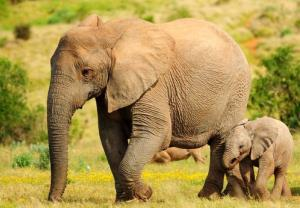 Elephants can understand it when we point, a study suggests.