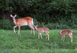 In this July 31, 2013, photo, a doe and two fawns look up from their grazing in a field in Hastings-on-Hudson, NY.