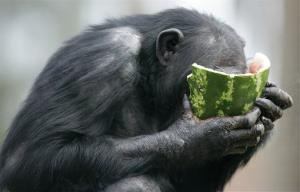 A chimp eats watermelon at Sydney's Taronga Zoo.