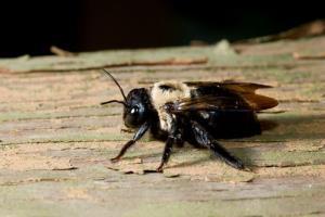 A modern carpenter bee.