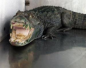 An alligator named Mr. Teeth in this Jan. 9, 2013, file photo. Authorities discovered an alligator Friday at Chicago's O'Hare Airport.