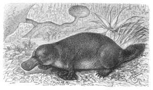 Scientists have discovered fossilized remains of an enormous platypus.