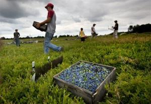 In this Friday, July 27, 2012 file photo, workers harvest wild blueberries at the Ridgeberry Farm in Appleton, Maine.