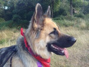 Stock image of a German shepherd, but not the hero dog in question.