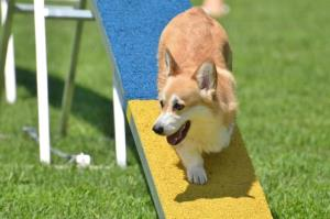 Corgis are poised to join the British Kennel Club's vulnerable native breeds.