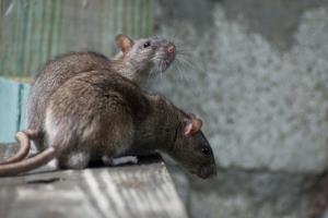A village in Madagascar is suffering from the bubonic plague.