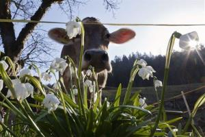 A cow grazes near a spring snowflake on a meadow at the mountain hamlet Chestenholz above Mels, Switzerland.