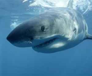 A great white shark is seen in this file photo.