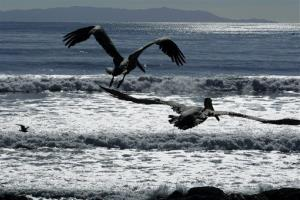In this Feb. 10, 2010 file photo, California brown pelicans fly off after being released by the International Bird Rescue Research Center at the beach in San Pedro, Calif.