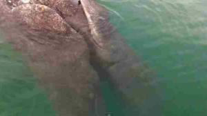 A screen shot from YouTube of the conjoined whales.