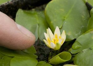 The rare Nymphaea thermarum, a water lily.