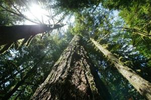 Trees rise from the Mt. Hood Naitonal Forest outside Zigzag, Oregon.