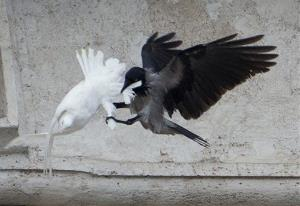 A dove which was freed by children flanked by Pope Francis during the Angelus prayer, is attacked by a black crow in St. Peter's Square, at the Vatican, Sunday, Jan. 26, 2014.