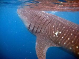 Hundreds of whale sharks like this one are slaughtered at the factory every year.