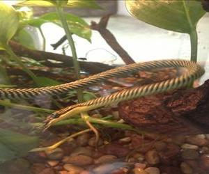 A flying snake.