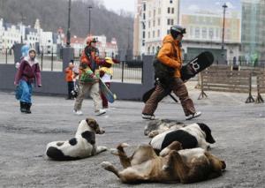 Downhill skiers walk past stray dogs to a ski lift in Sochi, southern Russia, Saturday, Dec. 24, 2011.