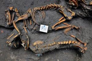 This image released by Mexico's National Institute of Anthropology and History shows canine skeletons unearthed by investigators in Mexico City.
