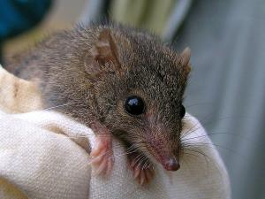 Antechinus agilis (not the newly discovered Antechinus arktos).