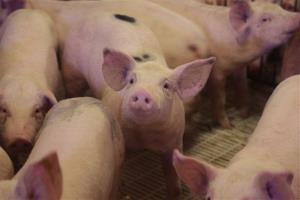 Hogs are seen on a farm Tuesday, Oct. 15, 2013, in Washington, Mo.