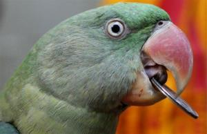 A parrot, not Hercules, in Varanasi, India, Wednesday, Sept. 26, 2012.