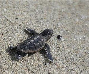 A loggerhead sea turtle hatchling makes its way into the ocean, where it will begin its lost years phase.