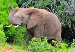 Elephants can distinguish between human languages and voices, a study suggests.