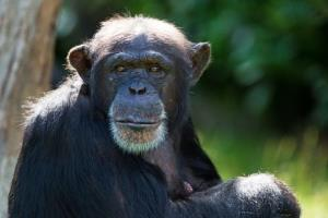 This chimp may be able to beat you at video games.
